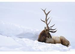 雪,性质,动物,鹿656878