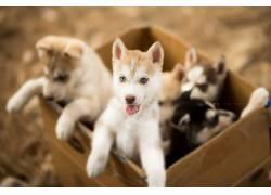 纸箱,小狗,小动物,狗,动物,蓝眼睛562605