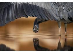 性质,动物,鸟类,上下翻转,水,反射,翅膀,羽毛,艾哈迈德・阿莱萨55