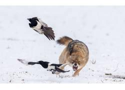 雪,狼,野生动物,鸟类,动物,性质618721