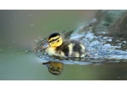 性质,动物,鸟类,小动物,鸭,水,反射,景深470217