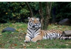 汉堡,动物园,虎590474