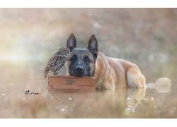 性质,动物,鸟类,猫头鹰,狗,德国牧羊犬,水,友谊,景深,Tanja Brand