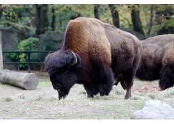 汉堡,动物园,野牛,动物590468