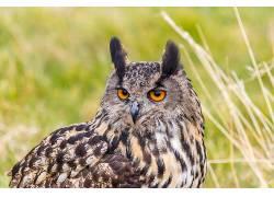性质,动物,鸟类,猫头鹰529637