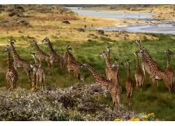 非洲,长颈鹿,性质,动物380557