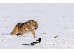 狼,雪,鸟类,动物,性质,欧洲喜鹊618641