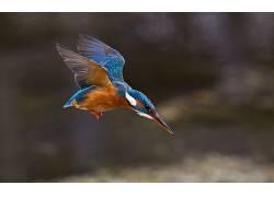 性质,动物,鸟类,翠鸟,翅膀380307