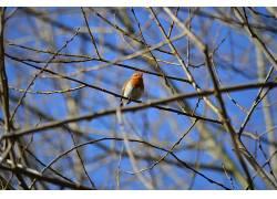 罗宾斯,飞行,鸟类,性质,野生动物,橡树,树枝524466