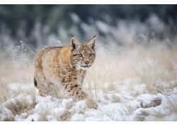 猞猁,冬季,雪,野生动物,动物610540