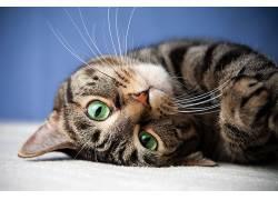面对,动物,猫498731