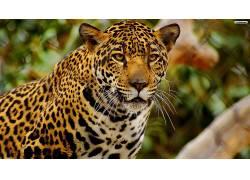 美洲虎,动物383559