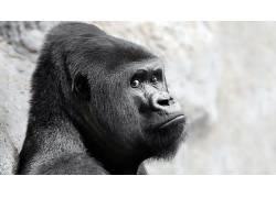 面对,大猩猩,动物474877