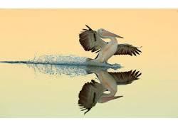 性质,动物,鸟类,鹈鹕,水,反射,翅膀,简单的背景,降落,羽毛,Bret C