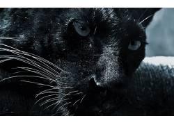 美洲虎,黑色,头发,眼睛,面对,动物386530