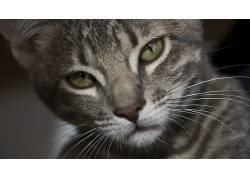 面对,猫,动物,眼睛475182