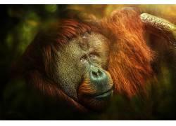 猩猩,类人猿,动物622734