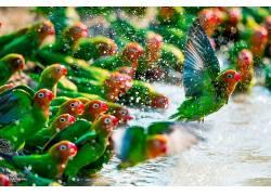 性质,动物,鸟类,鹦鹉,水,水滴,华美,飞行,背景虚化,卢克梅西62518