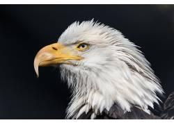 老鹰,鸟类,动物,轮廓631662