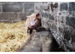 猪,动物450191