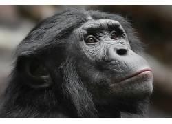面对,类人猿,哺乳动物,动物590227