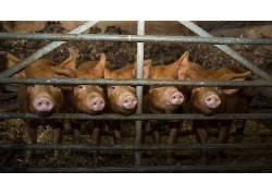 猪,动物472883