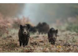 猪,动物500089