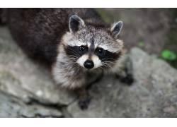 浣熊,野生动物,动物434818