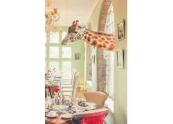 肖像显示,动物,摄影,长颈鹿,屋,室内,椅子,表,窗口479775