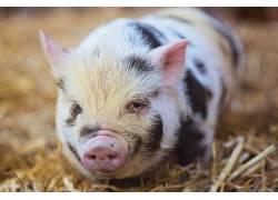 猪,动物672381
