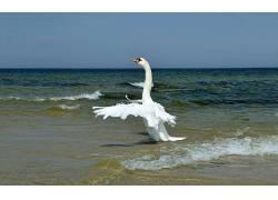 海,动物,鸟类,天鹅575911
