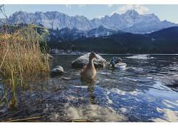 性质,动物,鸭371299