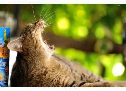 猫,动物,500px的,打哈欠613448