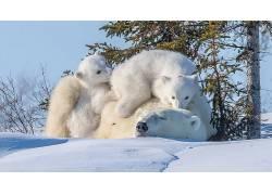 北极熊,动物,小动物,雪,性质635017