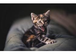 舌头,动物,小猫,猫497464