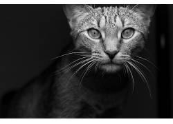 猫,动物,单色,摄影547281