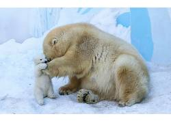 北极熊,动物,小动物379065