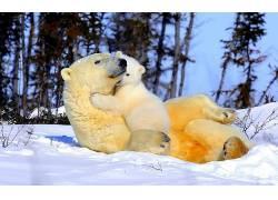 北极熊,动物382537