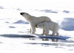 北极熊,北极,性质,熊,动物495365