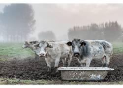 领域,牛,动物627012
