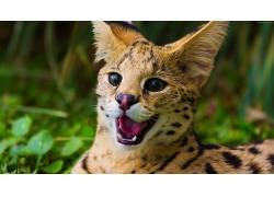 猫,动物,在户外,Leopardus Geoffroyi429957