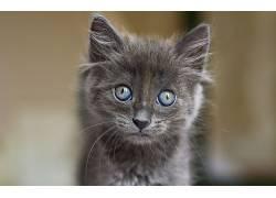 猫,动物,小猫,蓝眼睛661555