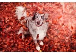 华美,树叶,秋季,动物,狗533741