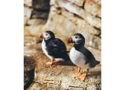 海雀,加拿大,安妮斯普拉特,鸟类,动物371689