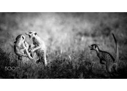 单色,动物,性质,500px的,猫鼬,战斗547329