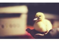 性质,手,小动物,鸭426841