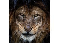 性质,摄影,狮子,大猫,动物,肖像,水滴379057