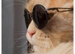 猫,动物,幽默,莱昂,墨镜500259
