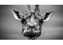 单色,长颈鹿,动物,野生动物477745