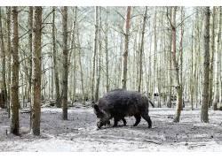 性质,森林,树木,猪,动物568977